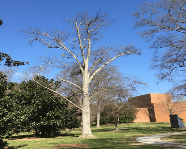 Tree Removed at SFAC